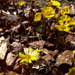 coltsfoot-flower